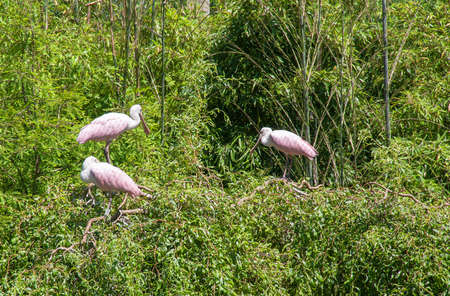animal watching: Spatulas - Platalea - in trees