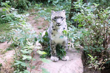 snow leopard: Snow leopard - Panthera uncia - in the countryside