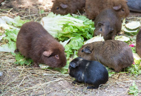 cavie: Guinea pigs - guinea pig - among the salad leaves Archivio Fotografico