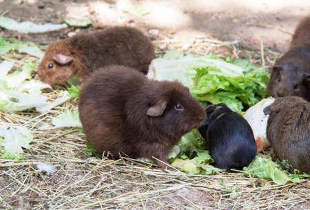 cavie: Le cavie - cavia - tra le foglie di insalata