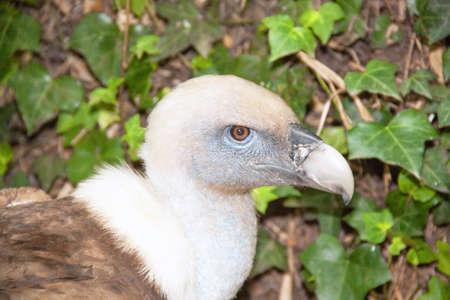 gyps: -Gyps Fulvus Griffon vulture - close-up