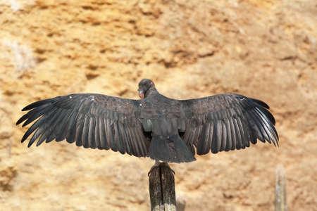 condor: Andean Condor - Vultur gryphus - with wings deployees