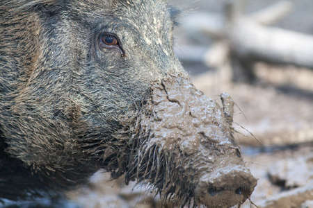 snout: Boar close up with muddy snout Stock Photo