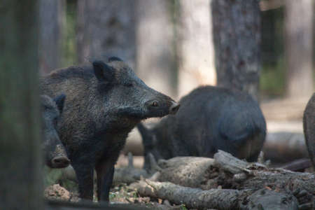 fense: Boar close up along a tree Stock Photo
