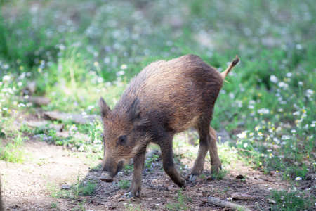 fense: Boar, young boar close-up Stock Photo