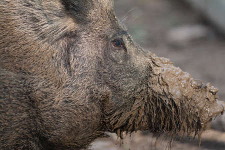 fense: Boar close up with muddy snout Stock Photo