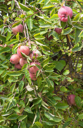 ble: Apples on the tree