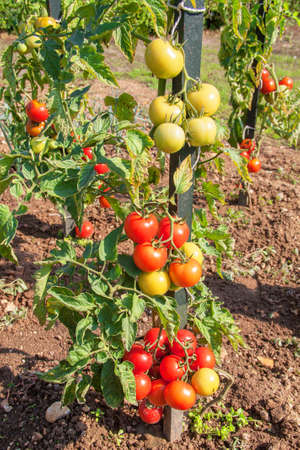 green been: Green and red tomatoes plant