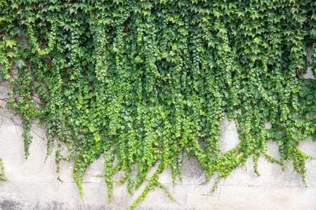 green been: Ivy along one wall