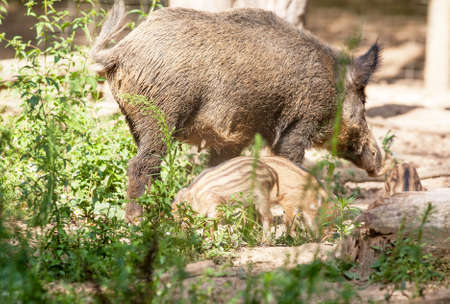 fense: Laie, female boar and small wild boars