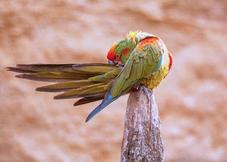 severus: Green macaw close-up