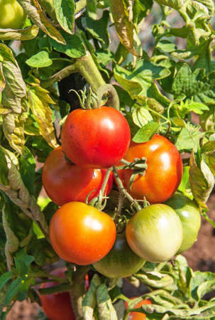green been: Green and red tomatoes plant up