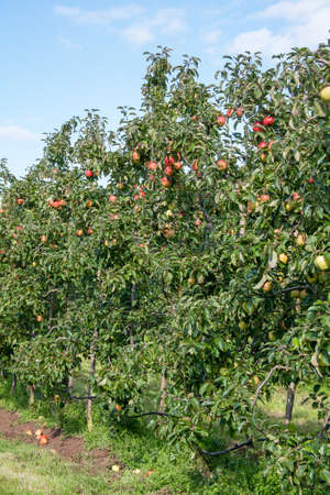 ble: Rows of apple trees in a ppiniriste Stock Photo