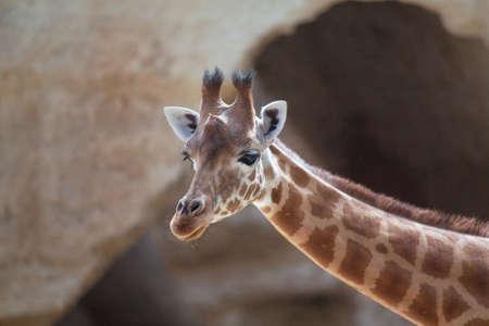 giraffa camelopardalis: Giraffe head - giraffa camelopardalis - close-up