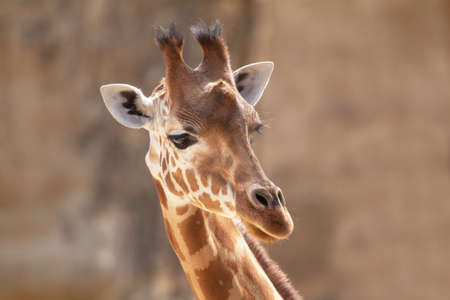 giraffa: Giraffe head - giraffa camelopardalis - close-up