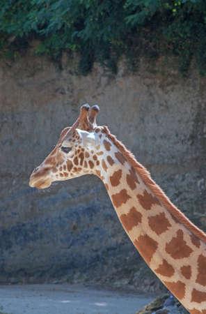 giraffa: Giraffe head - Giraffa camelopardalis - close-up Stock Photo