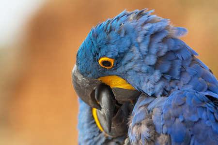 Aras blue close-up Stock fotó