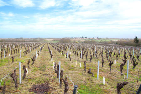 muscadet: Nantes vineyards in the area in the beginning of season goal Stock Photo