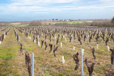 muscadet: Nantes vineyards in the area in The Beginning of season goal
