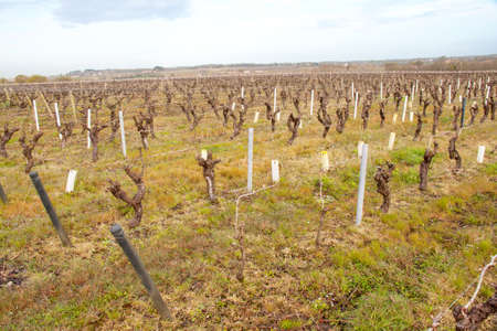 muscadet: Vignes in the Nantes area in early season goal Stock Photo