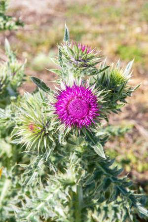 thistle flower in spring on the Breton ratings