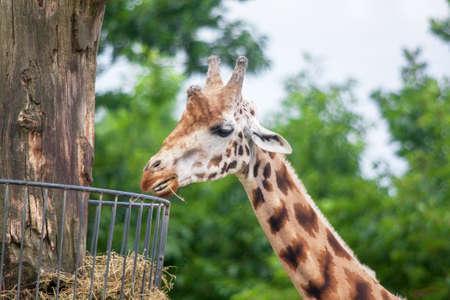 Close-up giraffe head