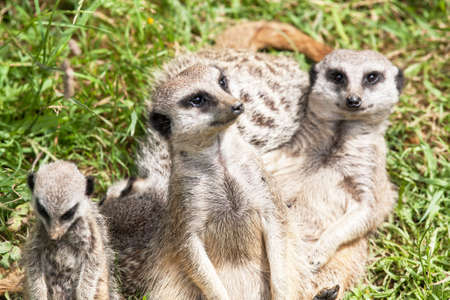 suricata: Meerkats, Suricata suricatta, family Stock Photo