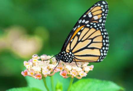 plexippus: monarch butterfly, Danaus plexippus on a flower