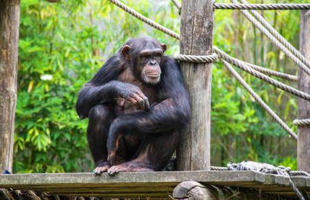 Portrait of chimpanzee Reklamní fotografie - 73263799