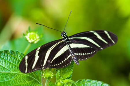 Butterfly Heliconius charithonia on a leaf