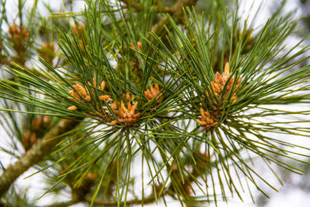 Young shoots of pine cones