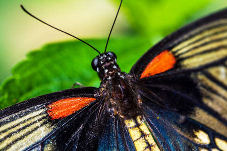 tropical butterfly Papilio lowi on a sheet