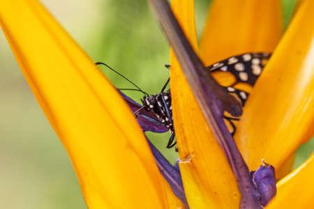 Monarch butterfly, danaus plexippus, hidden in a flower bird of paradise