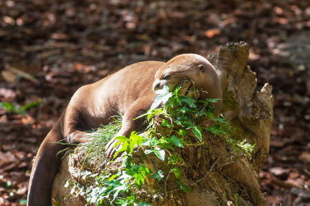 Giant otter, pteronura brasiliensis, at rest
