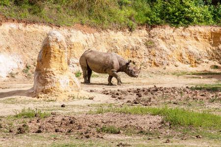 ? ros rhinoceros;