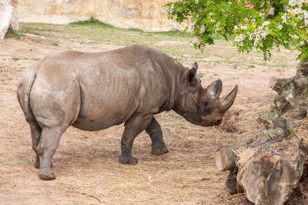 Rhinoceros;