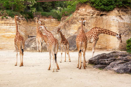 Group of giraffes in a clearing