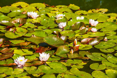 Flowering of water lilies in the pond