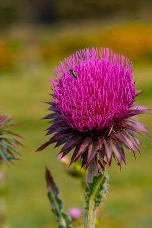 Thistle in bloom in spring