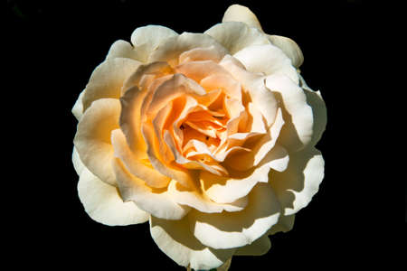 Flower. Yellow and white rose on a black background