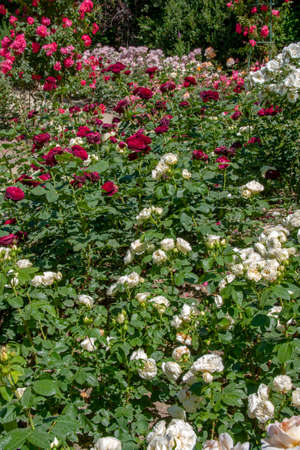 Flower. Flowerbed of roses