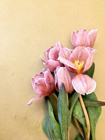 Mooie bloeiende trendy brownie tulp bloem achtergrond, close-up.