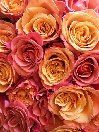 Roses background, rose isolated on black background. Stock Photo