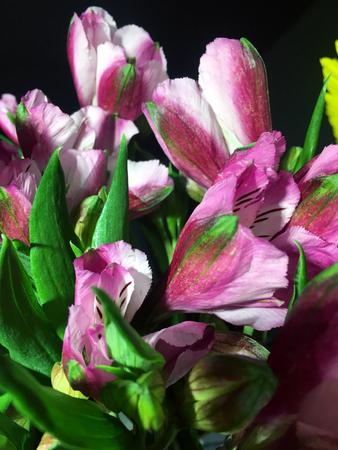 Alstroemeria flowers background. Alstroemeria pink. Alstroemerias on black background Banco de Imagens - 124822017