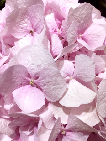 Beautiful hydrangea background in Pink colors.
