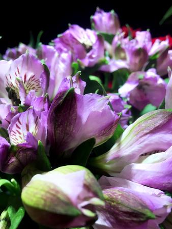Purpl Alstroemeria flowers background. Alstroemeria. Alstroemerias on black background 스톡 콘텐츠