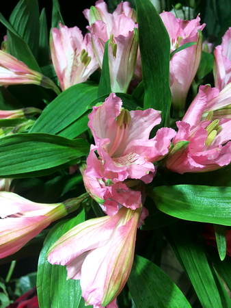 Alstroemeria flowers background. Alstroemeria pink. Alstroemerias on black background Banco de Imagens - 124822022