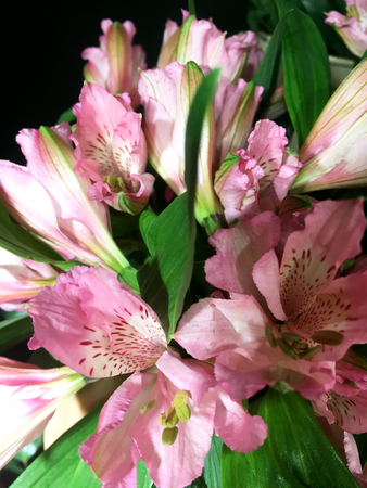 Alstroemeria flowers background. Alstroemeria pink. Alstroemerias on black background