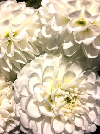 White dahlia flower on black background. White dahlia isolated. Stok Fotoğraf