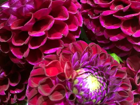 Pink dahlia flower on black background. Pink dahliaisolated.
